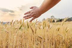Hand touching wheat. Hand touching top of wheat Royalty Free Stock Photo