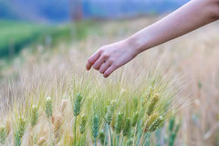 Hand touching wheat. Hand touching top of wheat Stock Photography