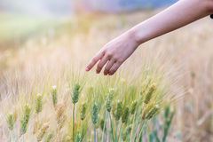 Hand touching wheat. Hand touching top of wheat Stock Images