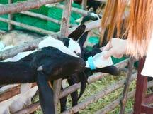 Feeding baby Goat. Hand tourist feeding baby Goat royalty free stock photos