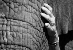 Hand of tourist stroking an African elephant, photographed at Knysna Elephant Park, South Africa stock images