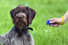 Hand training young dog with clicker Royalty Free Stock Images