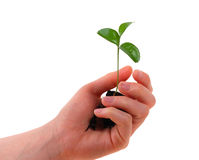 Hand and tree. Woman hand and a plant in it stock photo