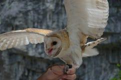 Hand-uggla i Abchazien Fotografering för Bildbyråer