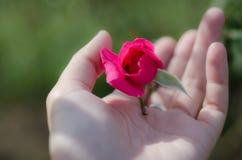 Hand und rosafarbene Knospe Lizenzfreies Stockfoto