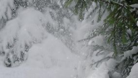 Hand of unrecognizable woman touching branch of evergreen tree with snow. Crop woman touching fir tree branch covered with snow stock video