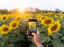 Hand unter Verwendung des Telefons, das Fotoschönheitssonnenblumenfeld nimmt Stockfoto