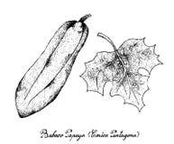 Hand van Babaco-Papaja op Witte Achtergrond wordt getrokken die Royalty-vrije Stock Afbeelding