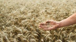 Hand van de korrel-kweker tegen een wheaten gebied stock foto