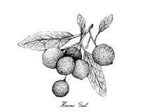 Hand van Hanza-Vruchten op Witte Achtergrond wordt getrokken die stock illustratie