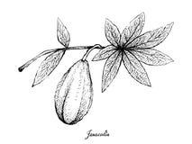 Hand van Jaracatia-Fruit op Witte Achtergrond wordt getrokken die vector illustratie