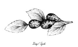 Hand van Jujube of Lang Fruits op Witte Achtergrond wordt getrokken die royalty-vrije illustratie