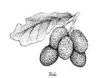 Hand van Korlan-Vruchten op Witte Achtergrond wordt getrokken die vector illustratie