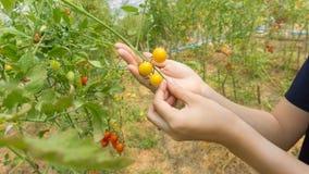 Hand van landbouwers die verse organische tomaten plukken stock afbeeldingen