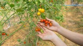 Hand van landbouwers die verse organische tomaten plukken stock foto