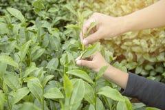Hand van mens en kindjongen het plukken uiteinde van groen theeblad in thee p Stock Foto's
