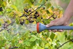 Hand van tuinman die zwarte bes water geven stock afbeeldingen