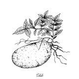 Hand van Verse Aardappels op een Witte Achtergrond wordt getrokken die stock illustratie