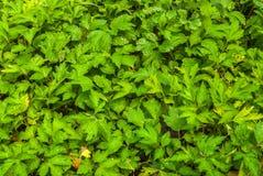 Hand van Witte de Bladerenachtergrond die van Lactiflora van de Bijvoetalsem wordt gevormd Stock Fotografie