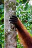 Hand von Orang-Utan Alpha-Männchen auf einem Baum im Dschungel Lizenzfreies Stockbild