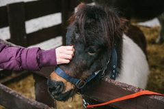 Girl`s hand strokes pony`s head. Hand in warm jacket of unidentified girl strokes the muzzle of funny colored pony stock photo