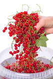 Hand wash red currants Stock Images