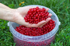 Hand with washed red currants Royalty Free Stock Photography