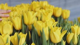 Hand wat betreft gele tulpen in serre stock footage