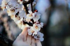 Hand wat betreft tot bloei komende pastelkleur roze bloemen van kersenboom in april in de stad stock foto
