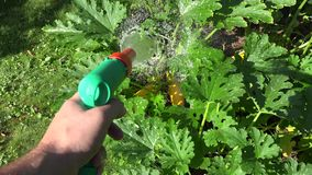 Hand with water hose sprayer tool walking through garden and watering courgette vegetable plant. 4K. Farmer hand with water hose sprayer tool walking through stock footage