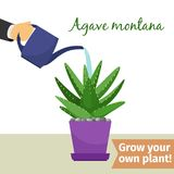 Hand watering agave plant illustration. Hand with watering can pours agave montana vector illustration for flower shop Royalty Free Stock Photos