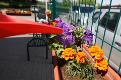 Hand watering a plant with watering can. Spring flowers and watering can royalty free stock images