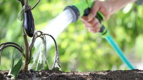 Hand watering plants. eggplant in vegetable garden. close up stock footage