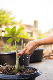 Hand watering potted ground. Royalty Free Stock Image