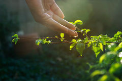 Hand watering pouring on green plant in sunshine. Environment concept Royalty Free Stock Image