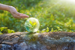 Hand watering and protecting globe of young tree resting on a timber Stock Photos
