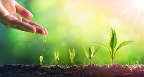 Hand Watering Young Plants. In Growing royalty free stock photo