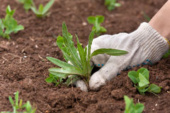 Hand weeding in the vegetable garden. Gloved hand weeding in the vegetable garden Royalty Free Stock Photos