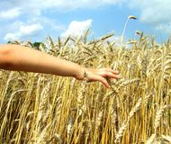 Hand in wheat Royalty Free Stock Photography