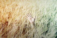 Hand in wheat Stock Images