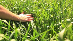 Hand in wheat stock footage