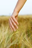 Hand in wheat field. Royalty Free Stock Photos