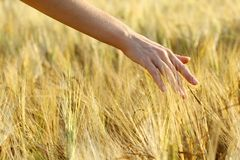 Hand in wheat field. Stock Photography