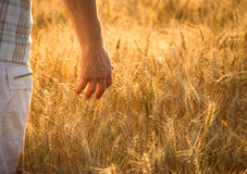 Hand and wheat field Stock Photo