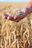 Hand in the wheat field Royalty Free Stock Image