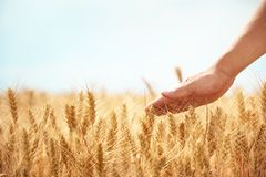 Hand in wheat field Stock Photos