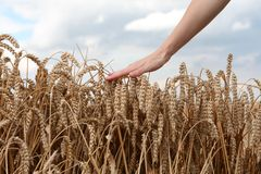 Hand in wheat field. Summer Royalty Free Stock Photography