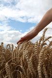 Hand in wheat field Stock Photography