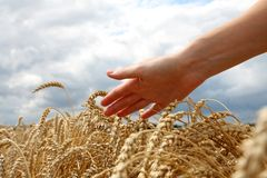 Hand in wheat field. Sunny day Royalty Free Stock Images