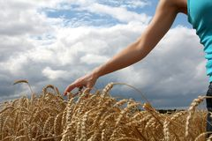 Hand in wheat field. Autumn day Royalty Free Stock Images